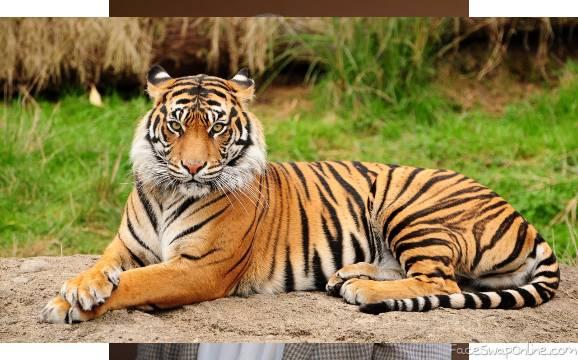 tiger david