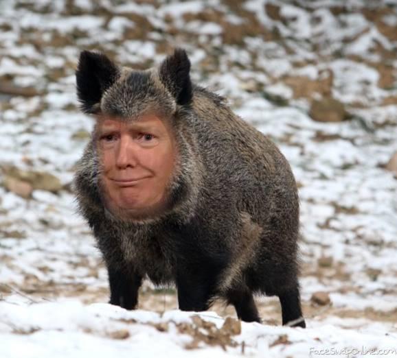 Boar Trump
