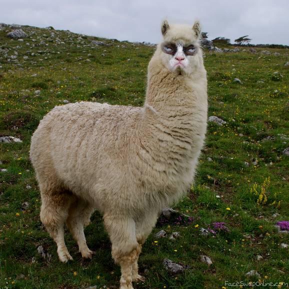 grumpy llama