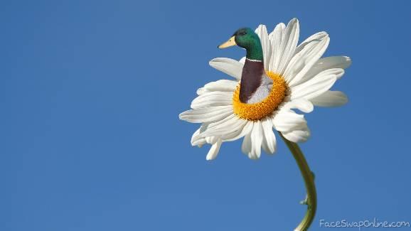 Duck Daisy