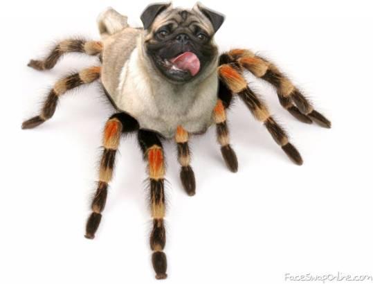 spider pug!!!