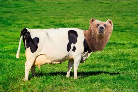 a killer cow