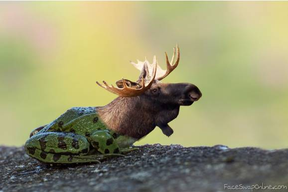 the moose frog