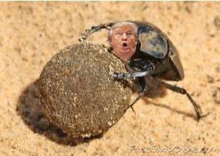 Washington dung beetle