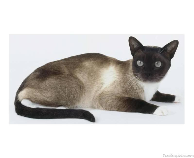 Snowshoe/Burmese cat