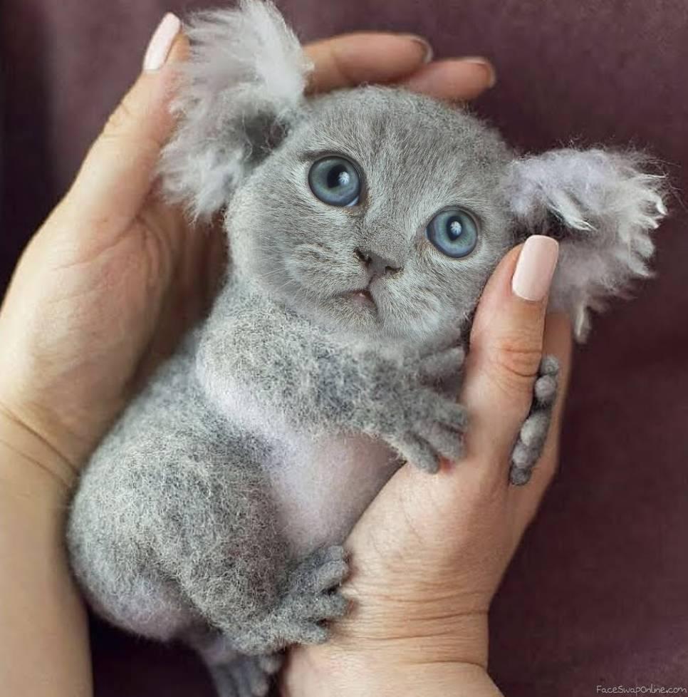 Koala kitten