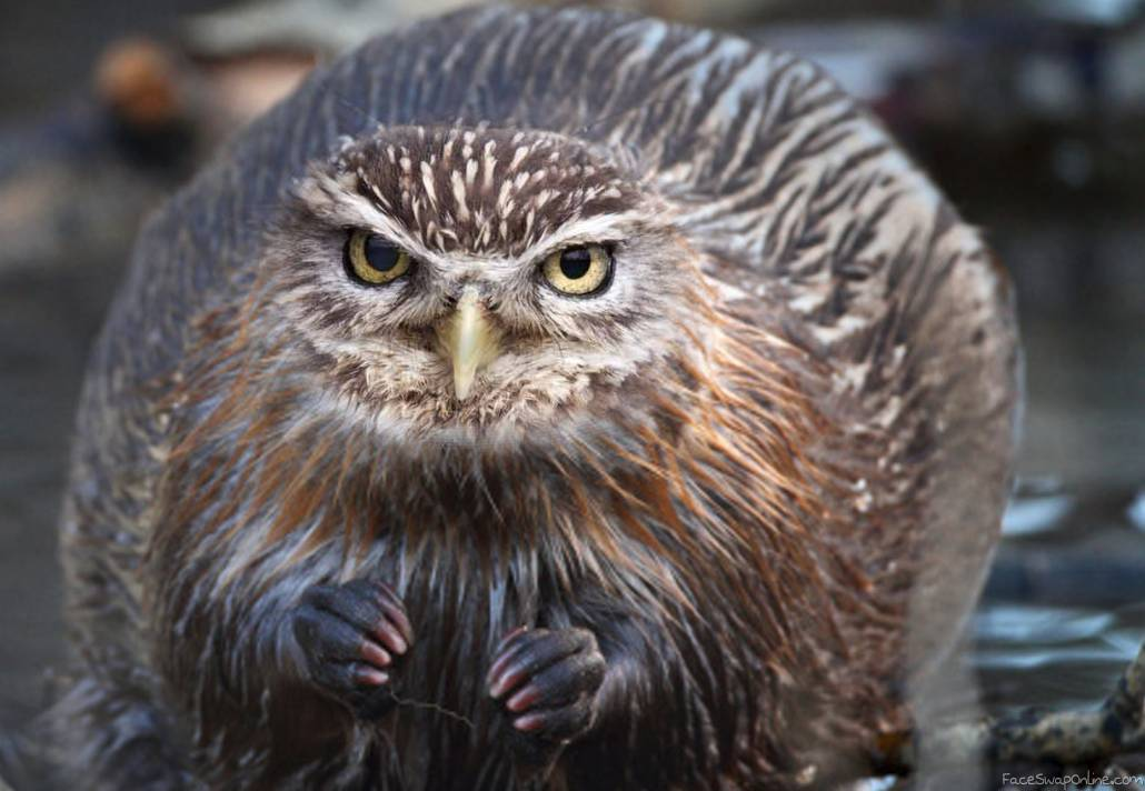 Owl faced beaver