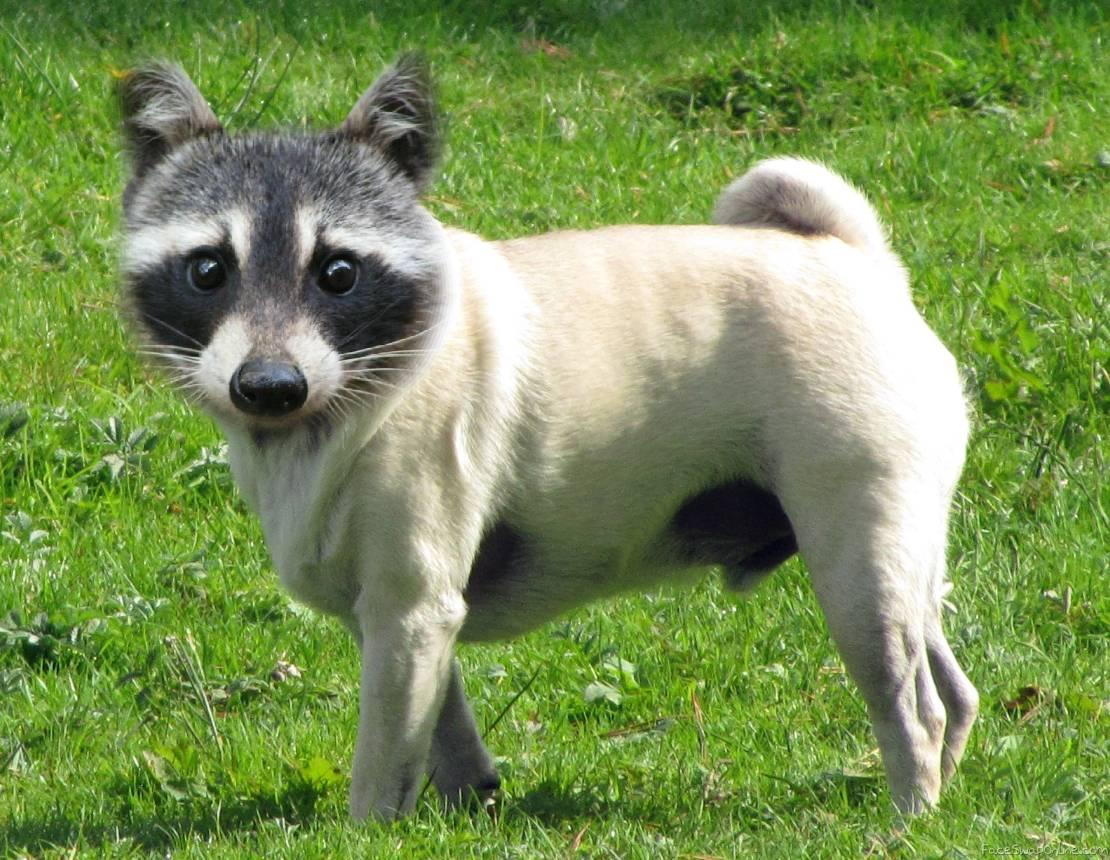 Raccoon Pug